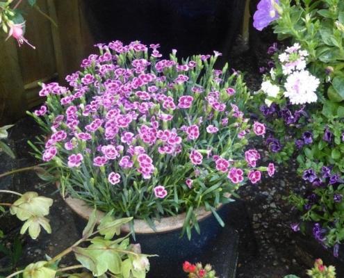 Choissia Ternata voor een bijenrijke tuin
